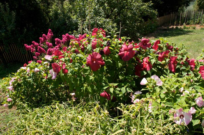 Vente mas et domaine viticole bio cevennes for Hibiscus entretien exterieur